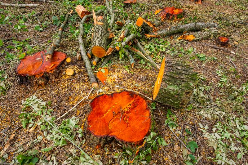 Stump valuable tree alders. Cutting valuable species of trees un. Der the pretext of sanitary cleaning the forest. Ukraine. Europe royalty free stock photography
