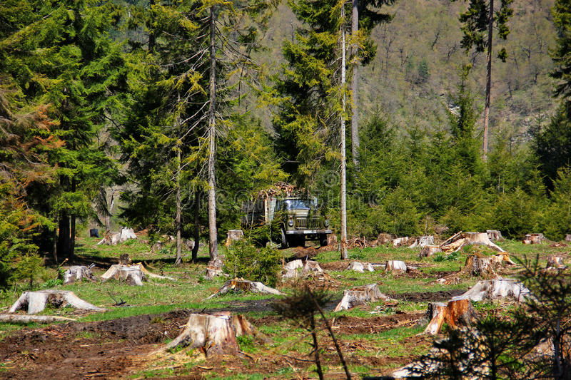 Stumps of trees on the background of lively greens of the coniferous trees. Visible truck in the back where you downloaded the felled trees stock images