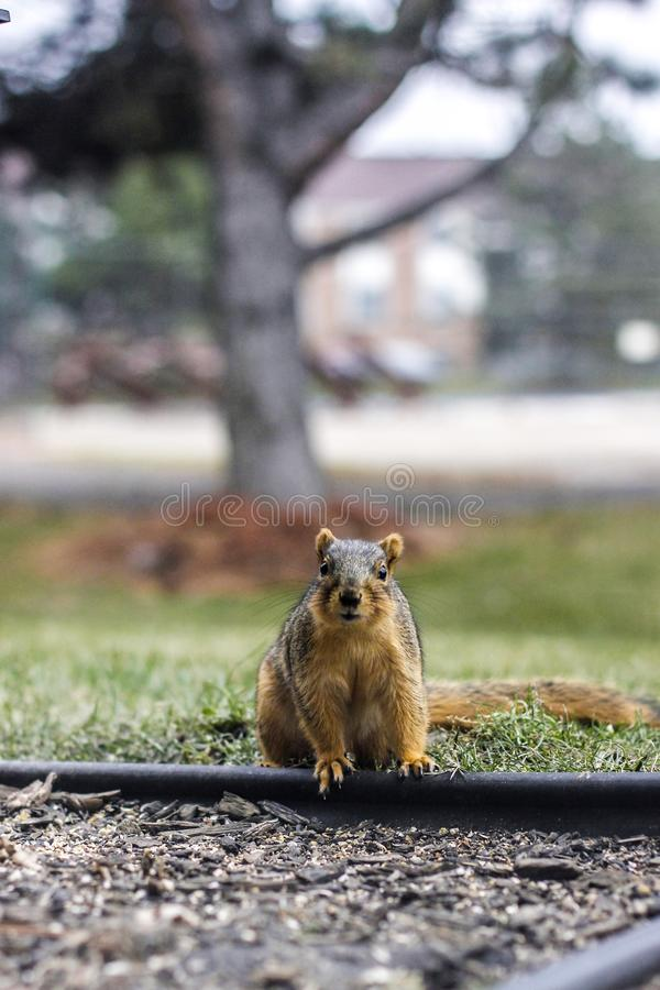 Stunned Squirrel royalty free stock photography