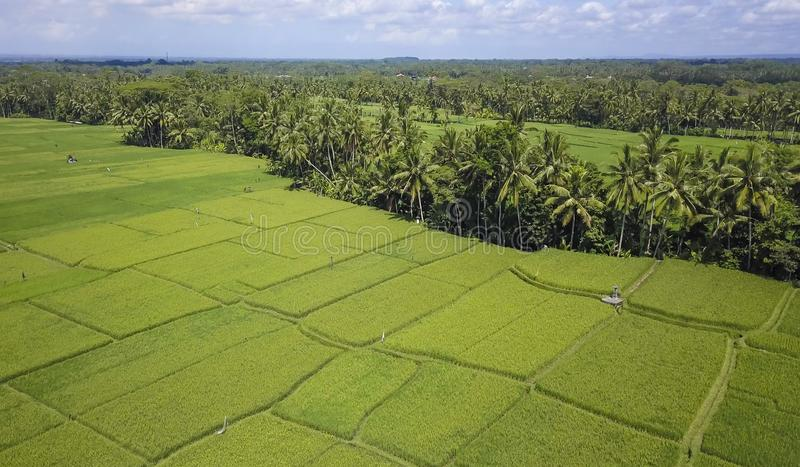 Stunning beautiful landscape aerial view of Bali rice field and jungle palm tree farm with volcano Agung in the background in agri. Culture scenic and Asia stock images