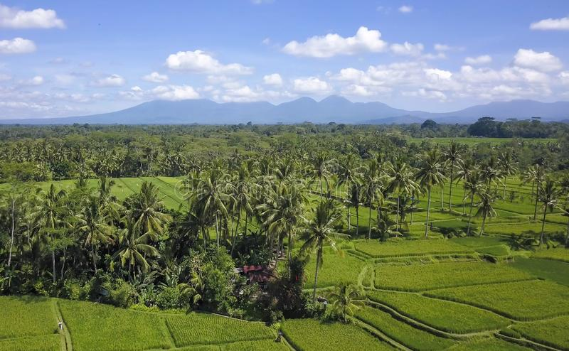 Stunning beautiful landscape aerial view of Bali rice field and jungle palm tree farm with volcano Agung in the background in agri. Culture scenic and Asia royalty free stock photo