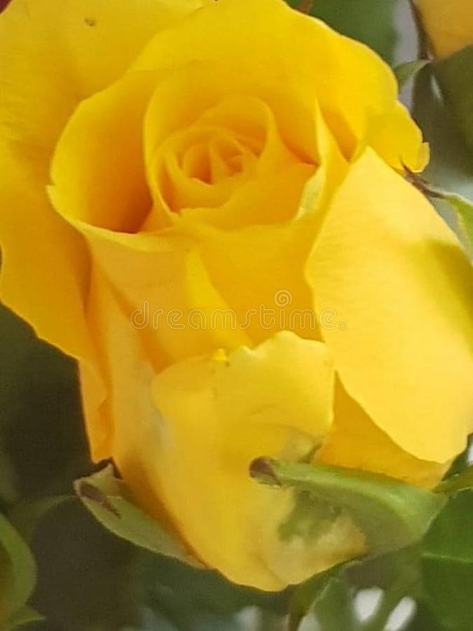 14 689 Yellow Rose Stem Photos Free Royalty Free Stock Photos From Dreamstime