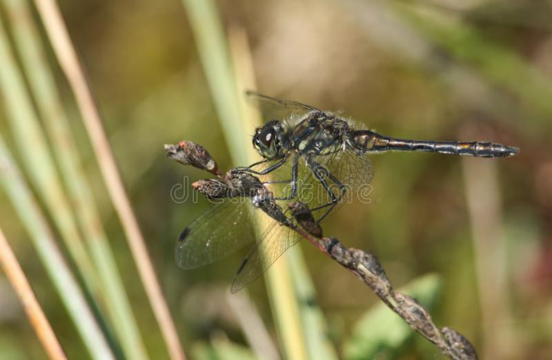 A stunning Black Darter Dragonfly Sympetrum danae perched on a plant at the edge of water. A pretty Black Darter Dragonfly Sympetrum danae perched on a plant at royalty free stock photos