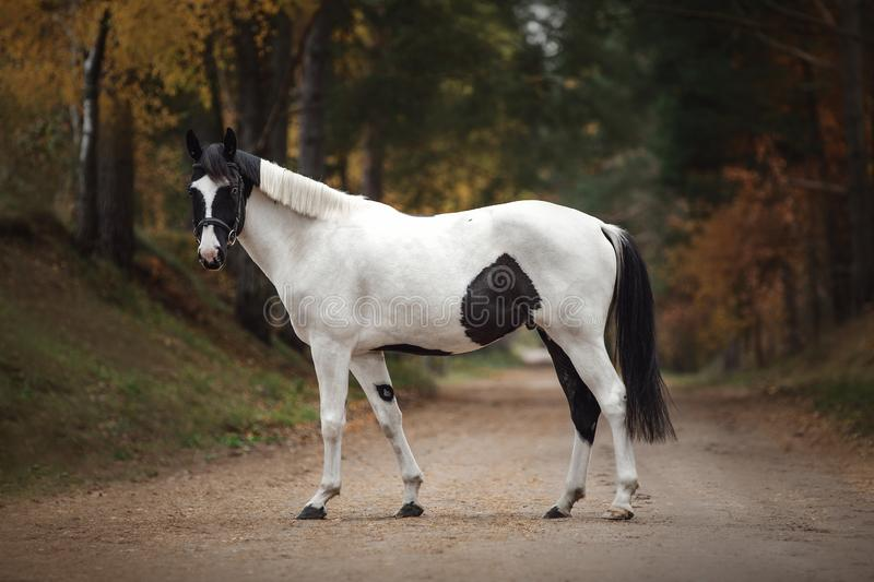 Stunning black and white pinto gelding horse on the road in autumn forest. Portrait of stunning black and white pinto gelding horse on the road in autumn forest stock images