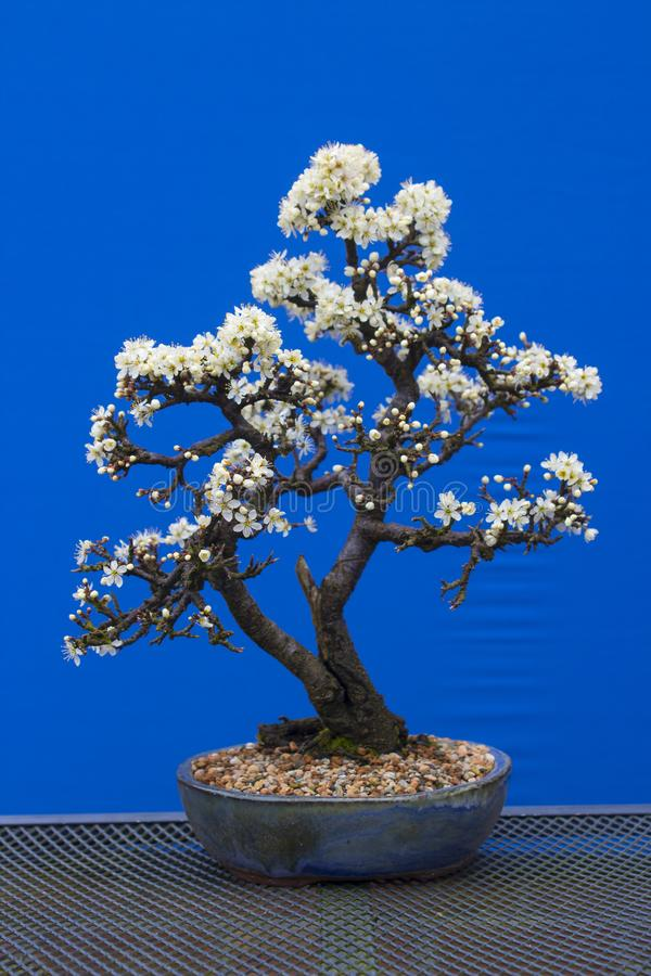 A stunning Blackthorn bonsai prunus spinosa a species of flowering plant in the rose family Rosaceae. Potted in an Erin pot. Using a free draining potting royalty free stock photography