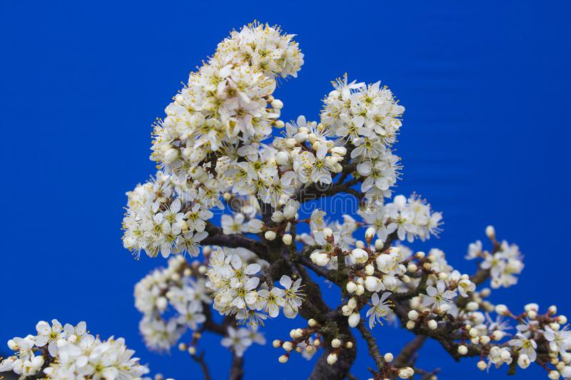 A stunning Blackthorn bonsai prunus spinosa a species of flowering plant in the rose family Rosaceae. Potted in an Erin pot. Using a free draining potting stock image