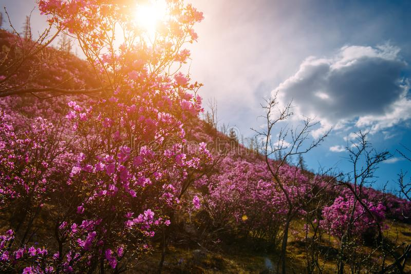 Stunning blooming pink flowers on the hillside in the morning sun, breathtaking floral background of nature. Rhododendron blooms royalty free stock photography