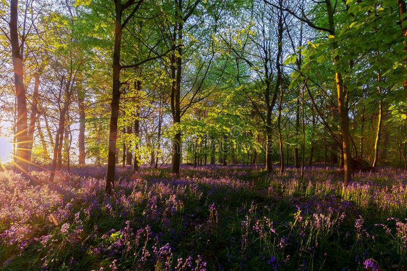 Stunning bluebells woodland at sunrise. Bluebells in spring woodland with early dawn sunrise. Natural English landscape royalty free stock photos
