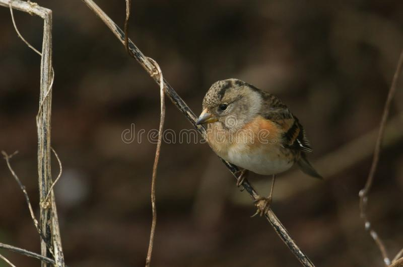 A stunning Brambling, Fringilla montifringilla, perched on a dead plant stem in the undergrowth. A beautiful Brambling, Fringilla montifringilla, perched on a stock image