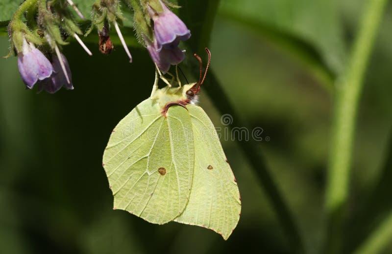 A stunning Brimstone Butterfly Gonepteryx rhamni nectaring on a Comfrey flower Symphytum officinale. A beautiful Brimstone Butterfly Gonepteryx rhamni nectaring royalty free stock photography