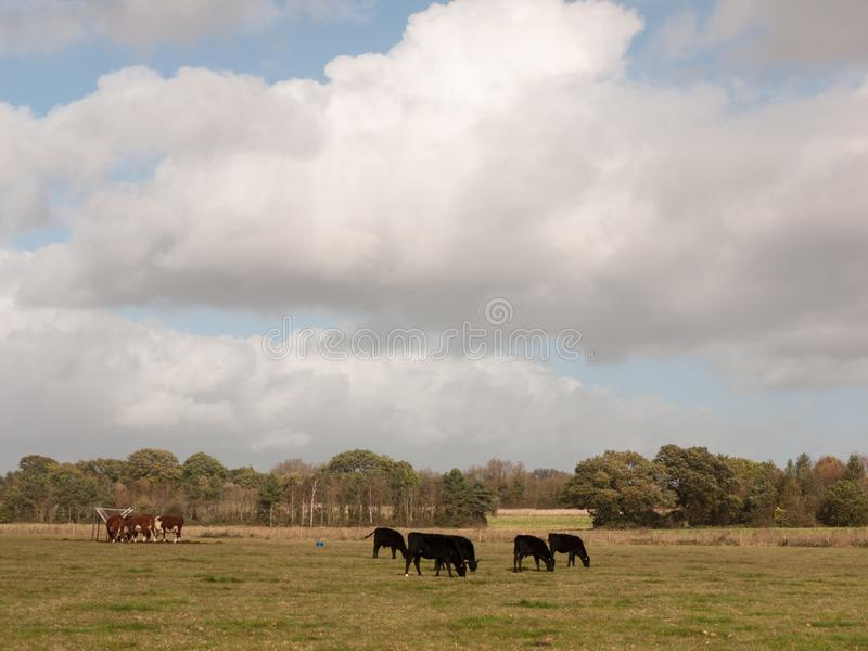 Stunning brown and black cows on pasture grazing dairy farm royalty free stock photography
