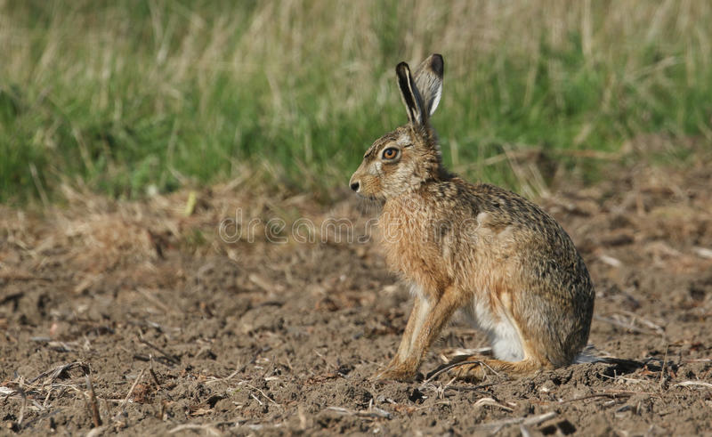 A stunning Brown Hare Lepus europaeus sitting in a field . A Brown Hare Lepus europaeus sitting in a field royalty free stock images