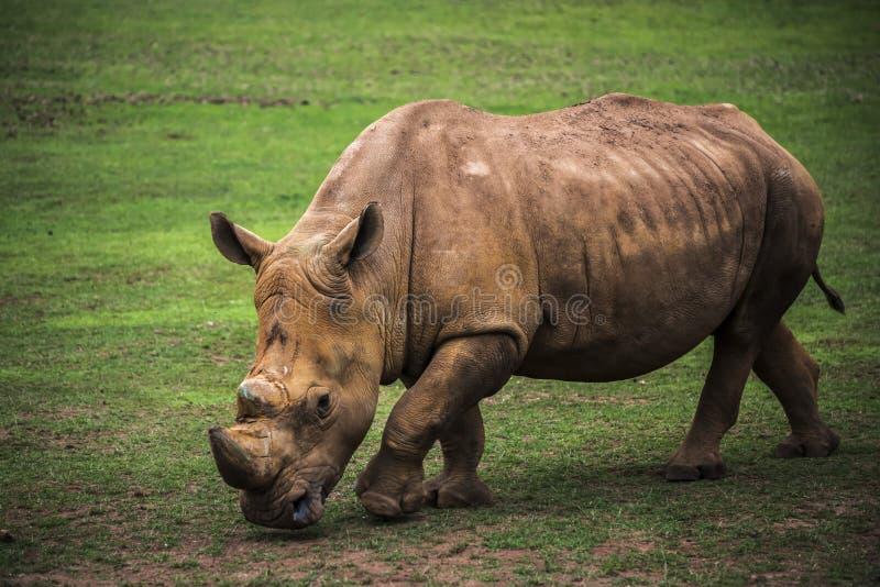 Brown rhinoceros grazing. Stunning brown rhinoceros grazing in a green meadow stock image