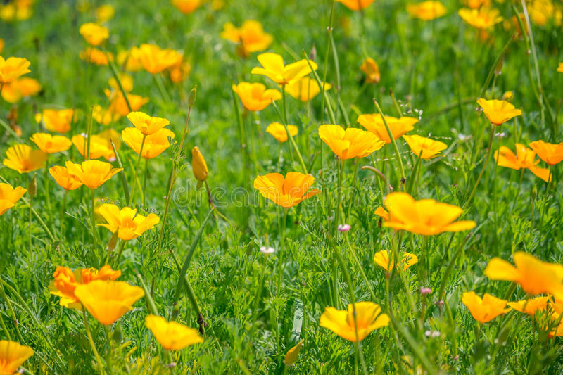 Stunning buttercup yellow flowers of Eschscholzia californica (Californian poppy,golden poppy, California sunlight, cup royalty free stock photo