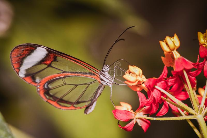 The stunning Butterfly royalty free stock image