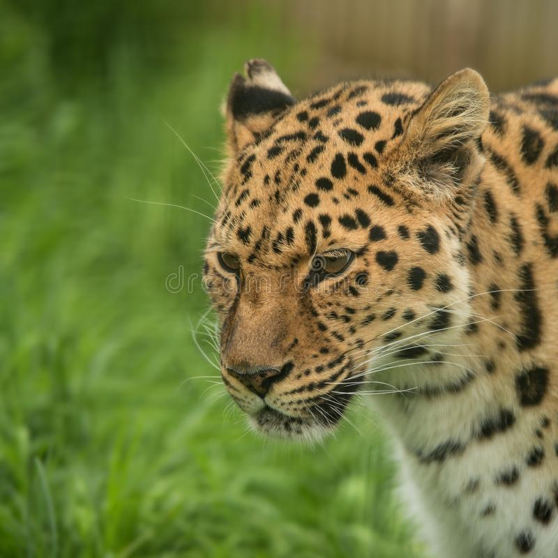 Beautiful close up portrait of Jaguar panthera onca in colorful royalty free stock photo