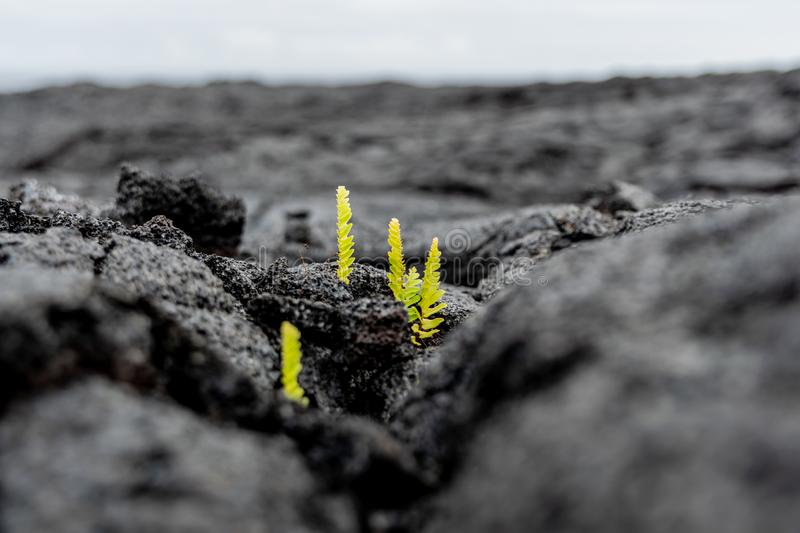 Stunning close-up view of fresh plant shoots growing out of a recent Kilauea lava eruption field near the town of Kalapana on the stock photography