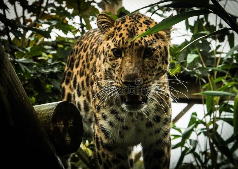 Stunning closeup of leopard looking into the camera in its natural habitat. Vivid colours with focus on the face and eyes. Leaves in the background with royalty free stock images