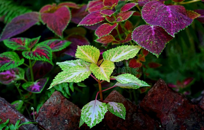 Stunning Colorful Coleus royalty free stock photos