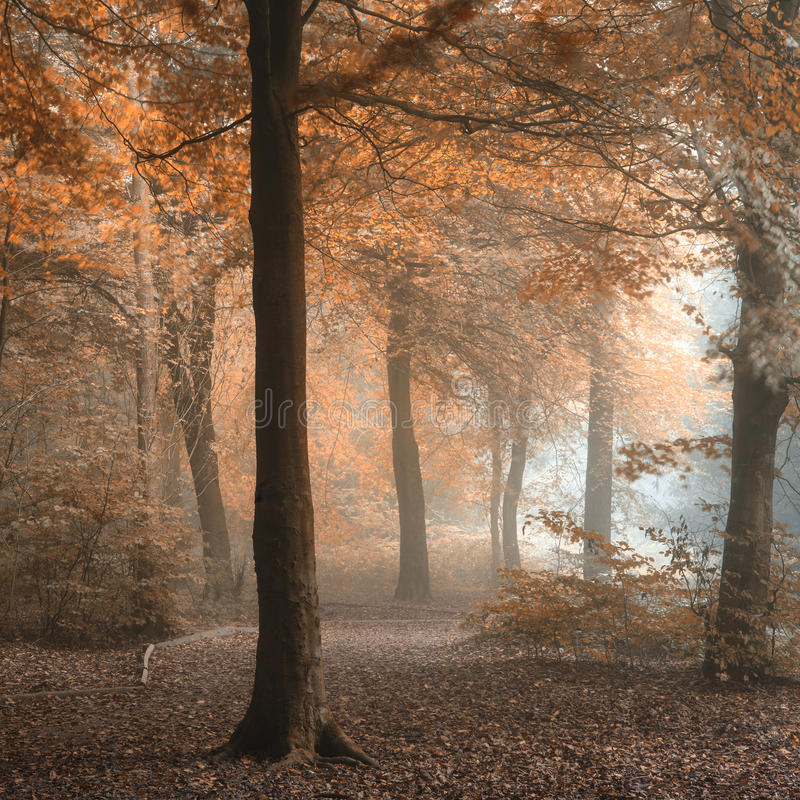 Stunning colorful moody vibrant Autumn Fall foggy forest landscape royalty free stock images