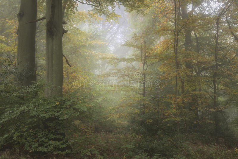 Stunning colorful vibrant evocative Autumn Fall foggy forest lan royalty free stock image
