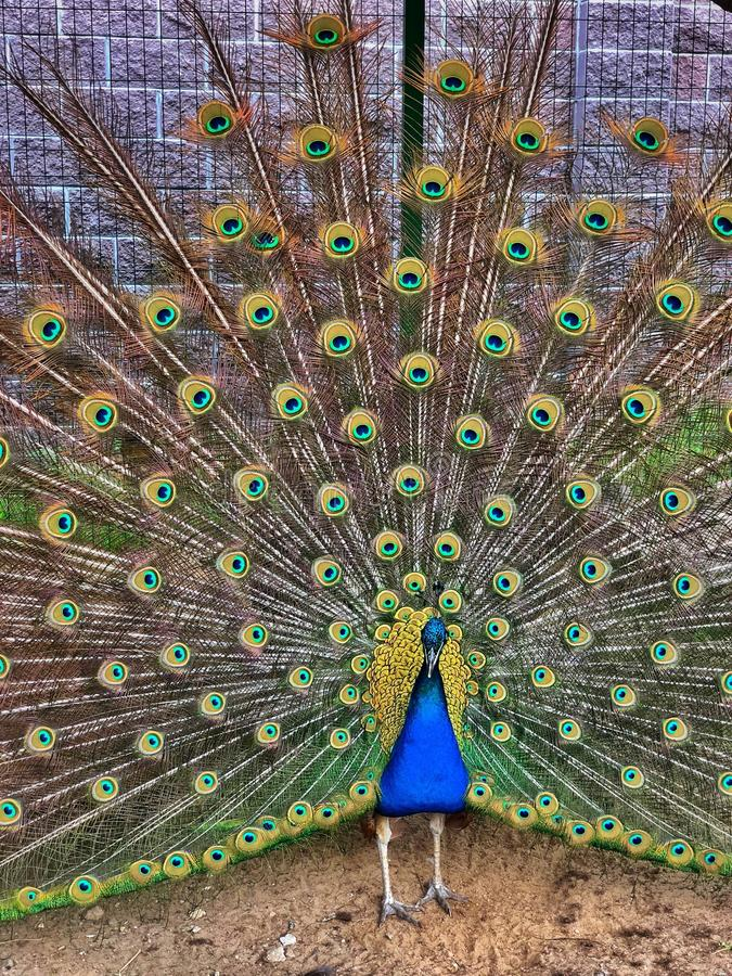 Beautiful peacock royalty free stock images