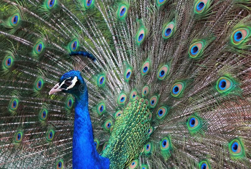 Stunning colors of the Peacock stock image