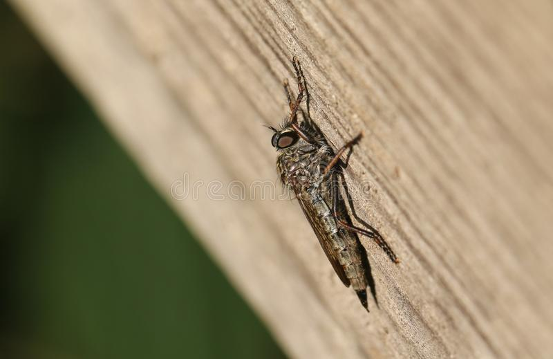 A Common Awl Robberfly Neoitamus cyanurus perching on a wooden fence at the edge of woodland. It is hunting for insects to feed royalty free stock image