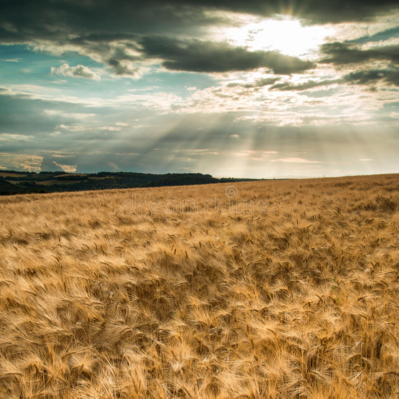 Stunning countryside landscape wheat field in Summer sunset stock photos