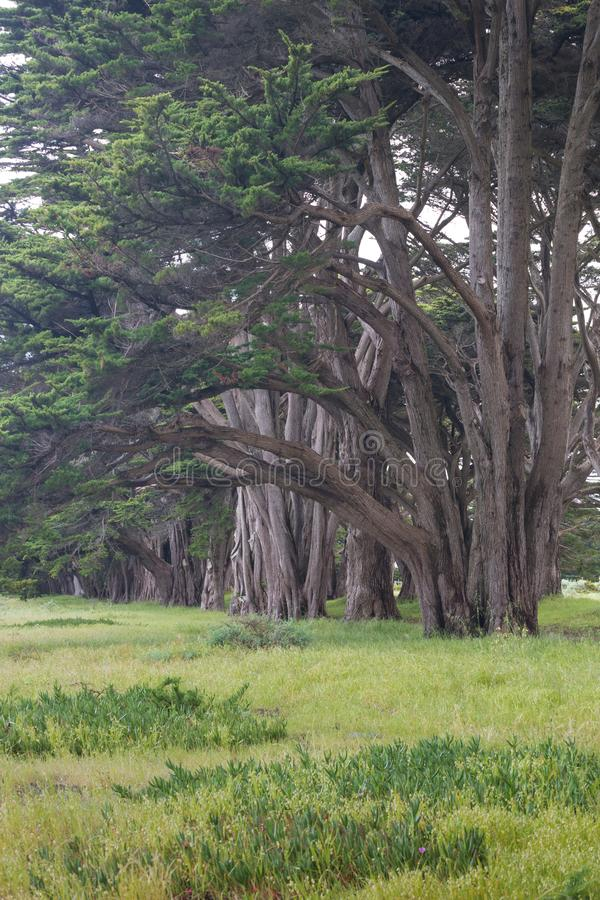 Stunning Cypress alley at Point Reyes National Seashore, California, United States. Fairytale trees in the beautiful day royalty free stock image