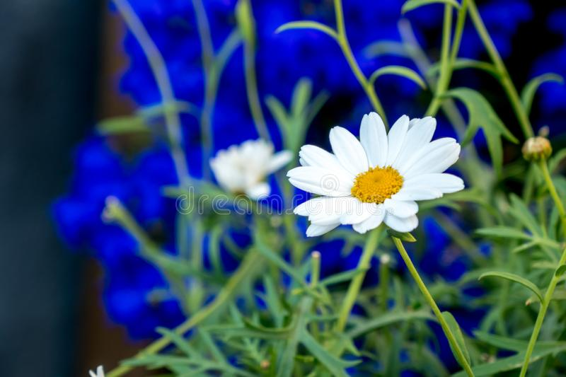 Daisy flower daisies flowers white on blue background stock images