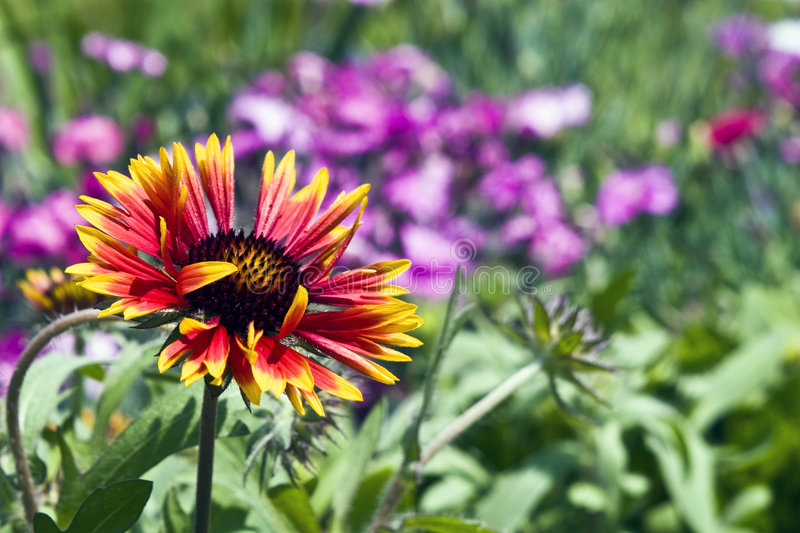 Stunning Flower. Beatiful, stunning flower framed by other flowers in the garden royalty free stock photo