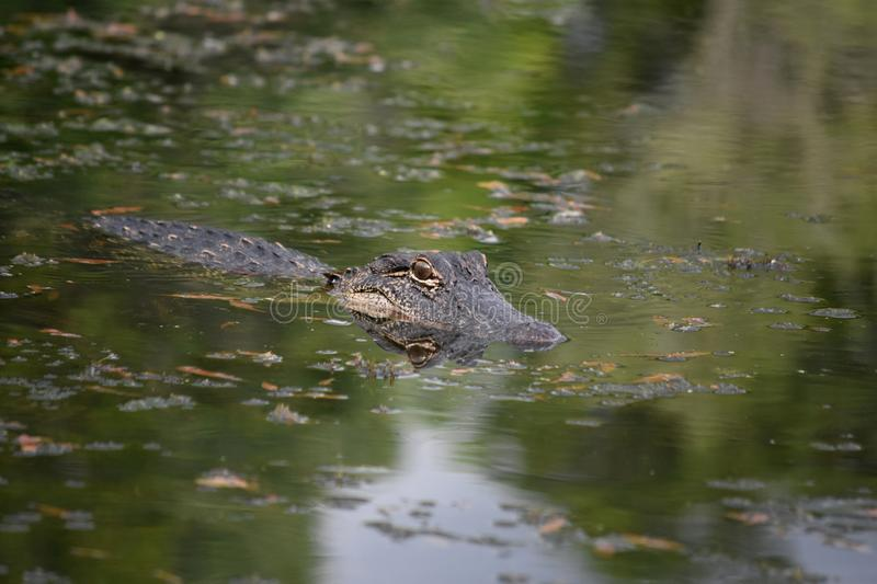 Stunning Gator with a Reflection of His Face in the Water royalty free stock image