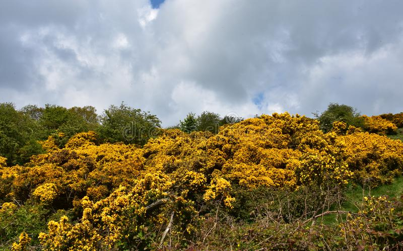 Stunning Golden Landscape with Flowering Golden Gorse Bushes. Landscape with flowering golden gorse bushes blooming on a spring day royalty free stock image