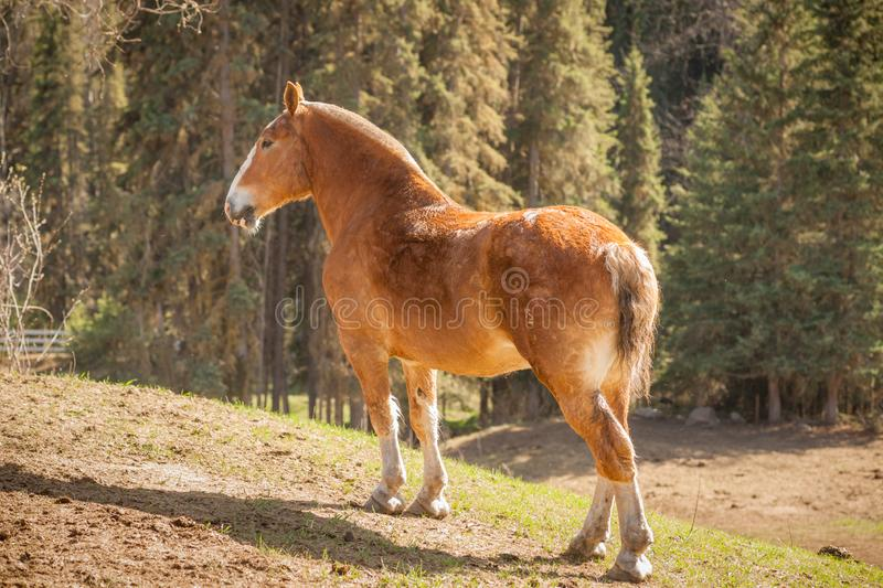 Draft Horse Beauty. A stunning heavy horse is portrayed in this image on a sunny day in the pasture stock image