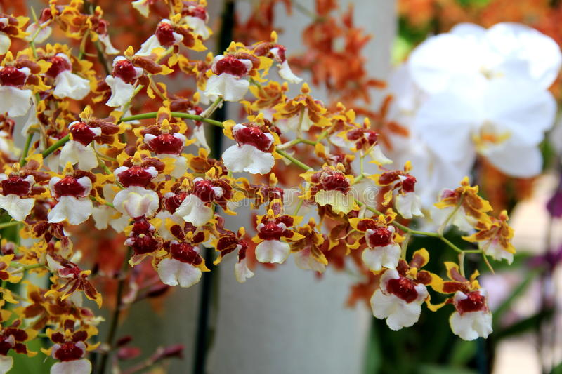 Stunning image of colorful exotic orchids in tropical garden. Stunning image of colorful pink and white exotic orchids in landscaped tropical garden royalty free stock image