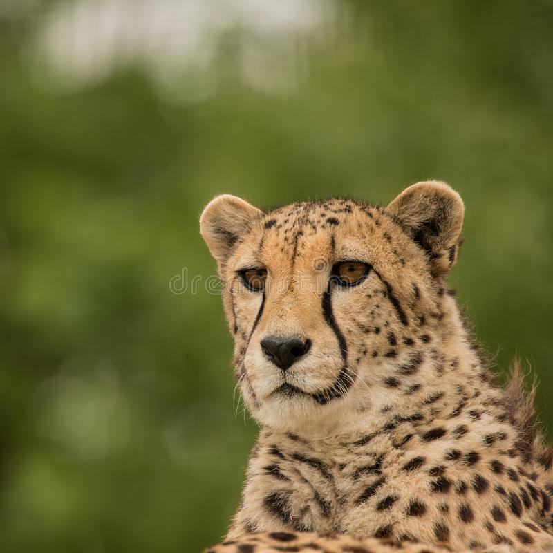 Beautiful close up portrait of Cheetah Acinonyx Jubatus in color stock images