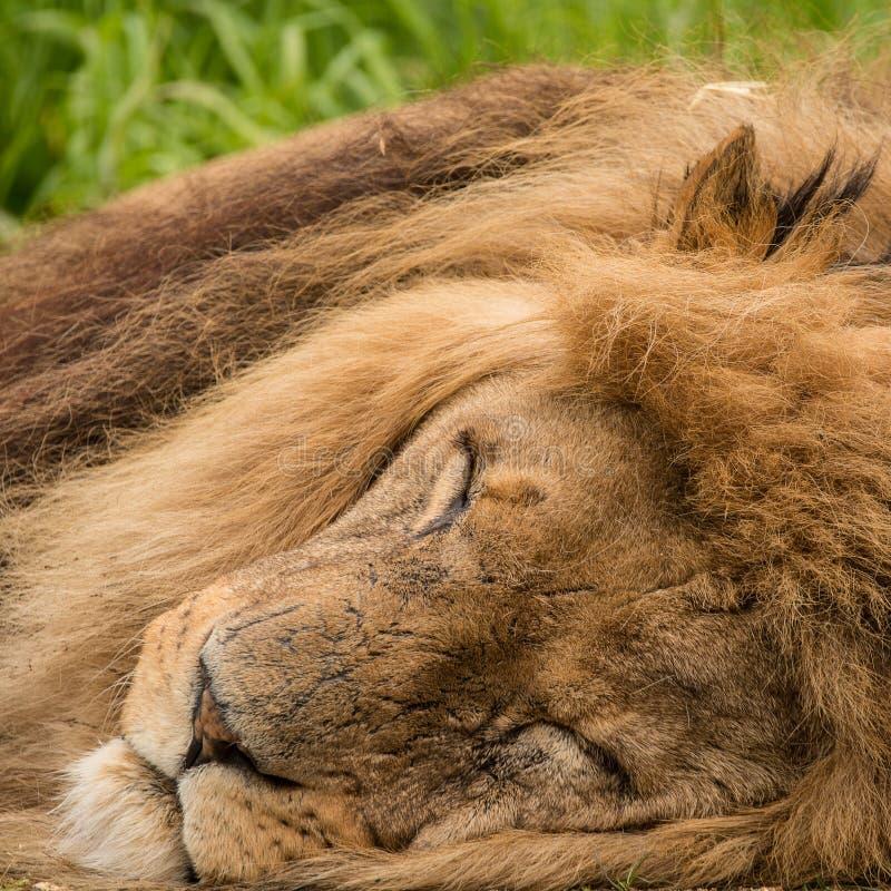 Beautiful close up portrait of white Barbary Atlas Lion Panthera Leo royalty free stock images