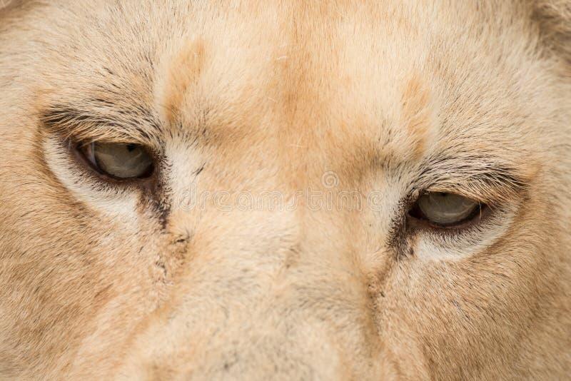 Beautiful close up portrait of white Barbary Atlas Lion Panthera Leo stock photo
