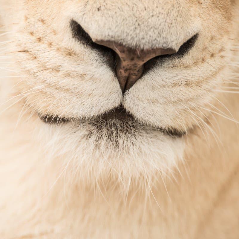 Beautiful close up portrait of white Barbary Atlas Lion Panthera Leo royalty free stock image