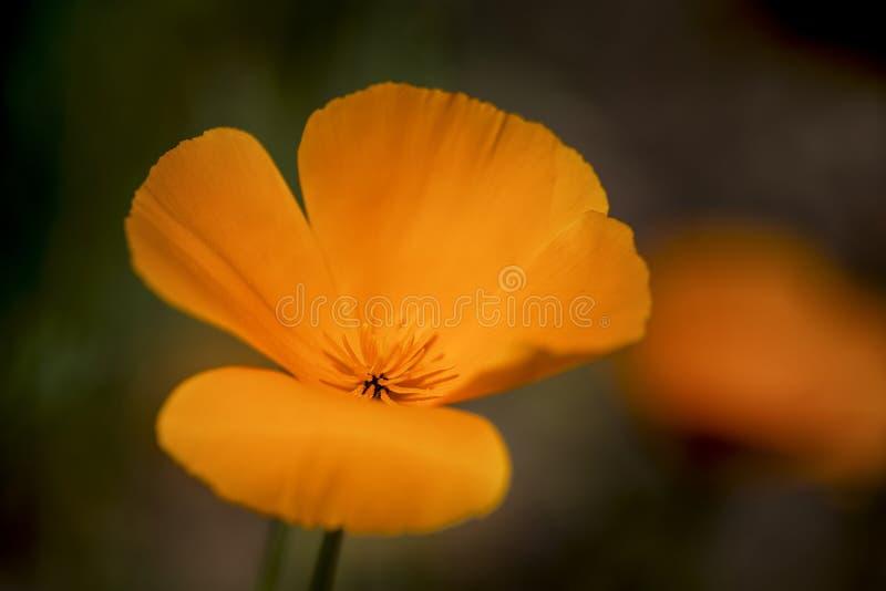 Stunning Kalifornia maczek kwitnie eschscholzia californica z s zdjęcie royalty free