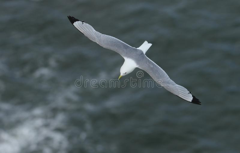 A stunning Kittiwake Rissa tridactyla flying above the sea in the UK. royalty free stock photos