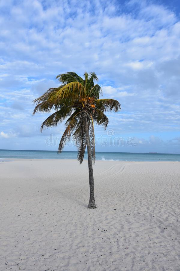 Stunning landscape of eagle beach with white sand. Lone palm tree on Eagle Beach in Aruba stock photo