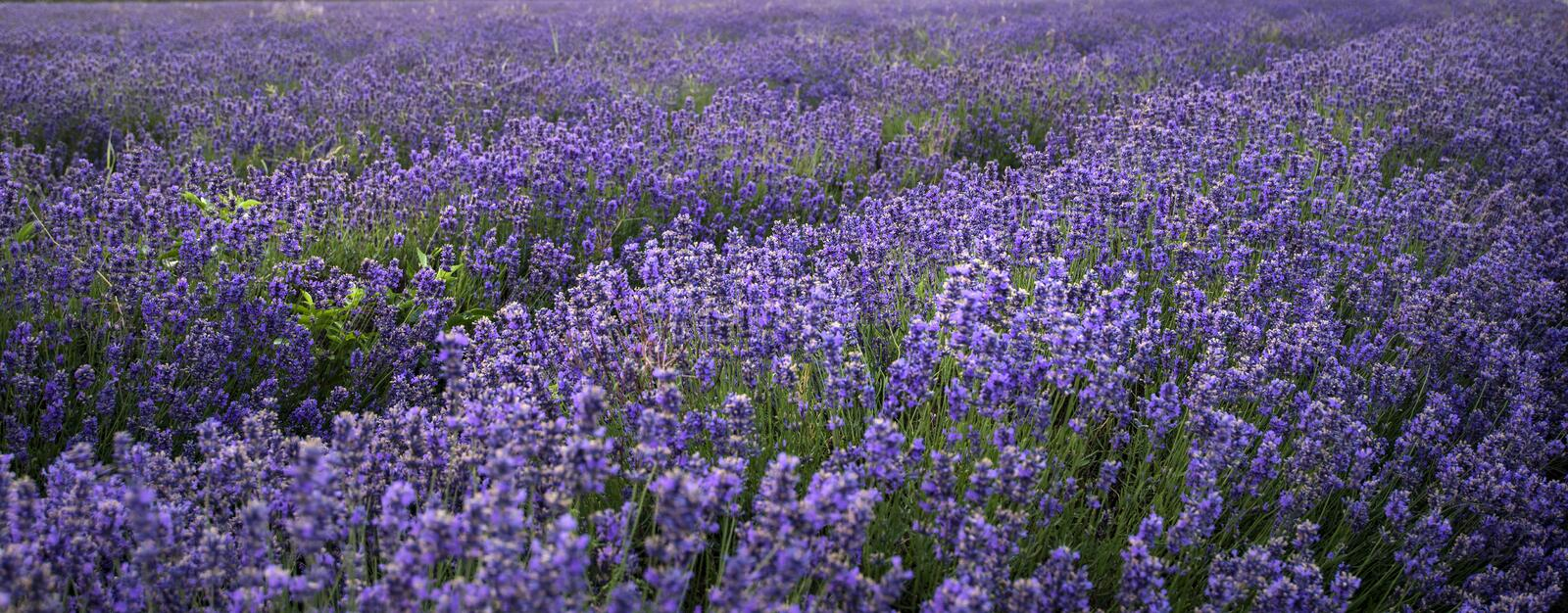 Stunning landscape of lavender field withselective focus for emphasis on plants royalty free stock photo