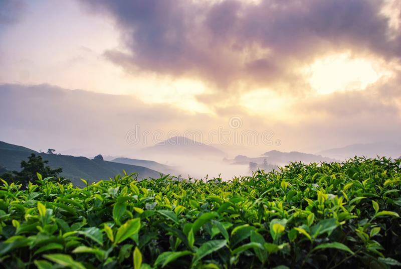 Stunning landscape scenery at early morning. closeup shot tea tree over foggy mountain royalty free stock images