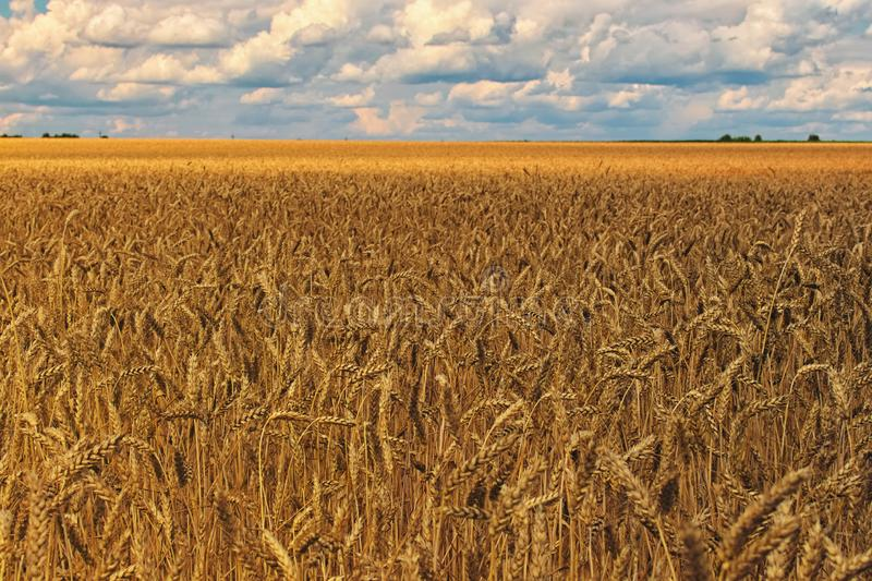 Stunning landscape view of wheat grain field on sunny day. Cereal farming. Agricultural concept.  royalty free stock images
