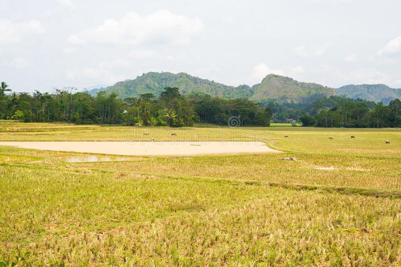 Stunning landscape of water filled rice fields and scenic cloudscape in Tana Toraja, South Sulawesi, Indonesia. Wide angle view, t. Oned image, old retro look royalty free stock images