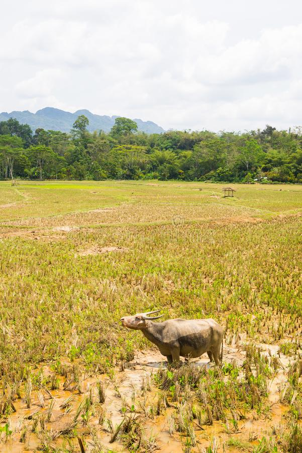 Stunning landscape of water filled rice fields and scenic cloudscape in Tana Toraja, South Sulawesi, Indonesia. Wide angle view, t. Oned image, old retro look royalty free stock photography