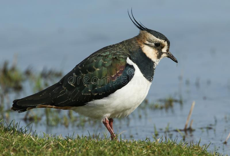 A stunning Lapwing Vanellus vanellus searching for food in a grassy field. A stunning Lapwing Vanellus vanellus searching for food in a grassy field next to a stock photos