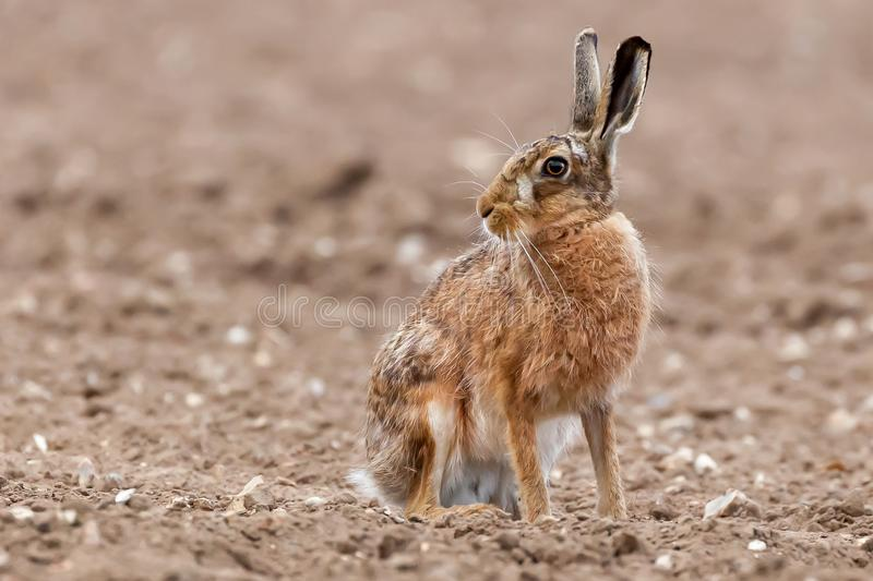 Stunning large wild brown european hare in the ploughed fields of Norfolk UK. Close up view of a hare animal sat on a dirt field looking around stock images